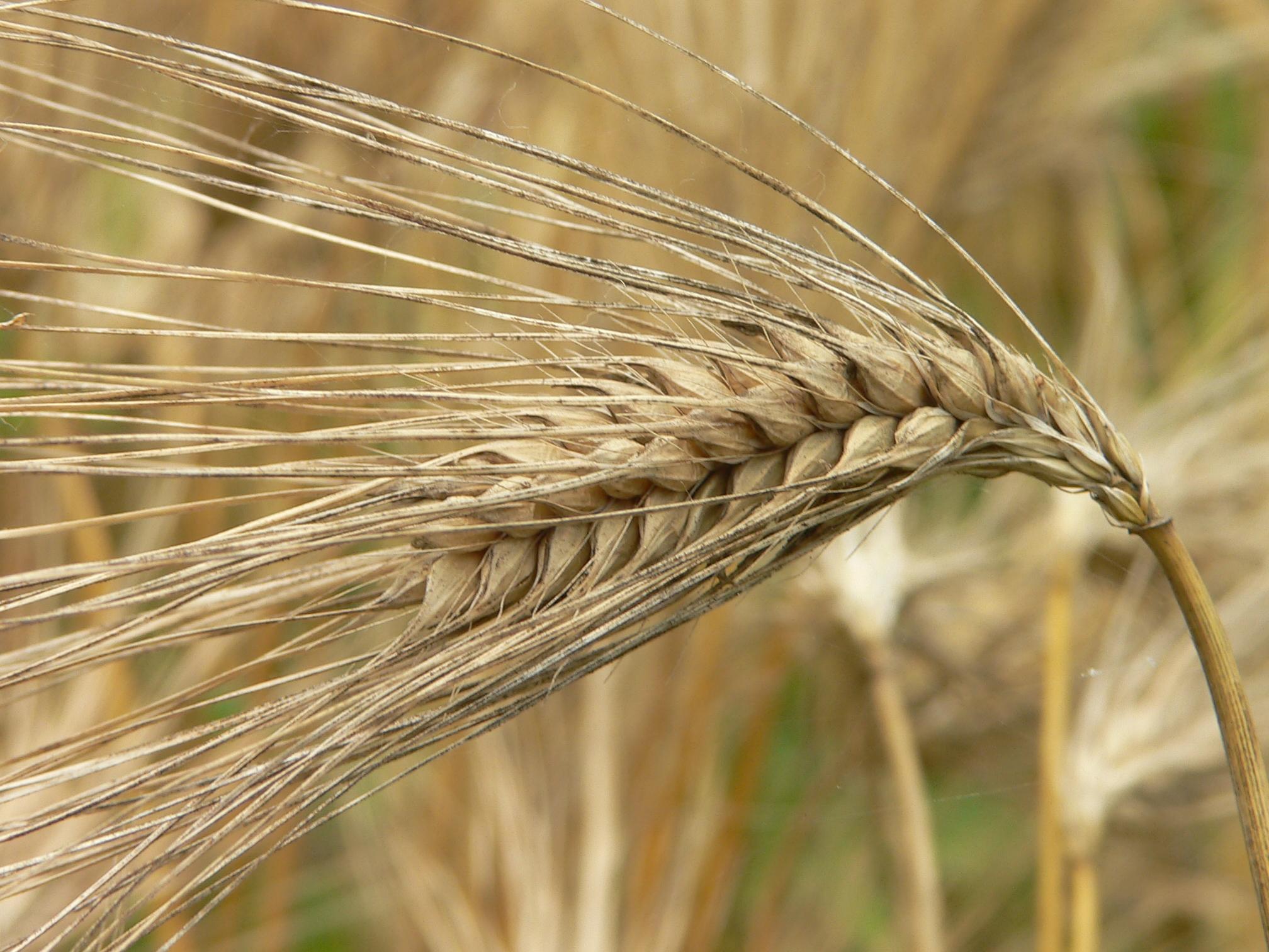 Korea-Barley-01